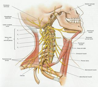 Cervical nerves and headaches
